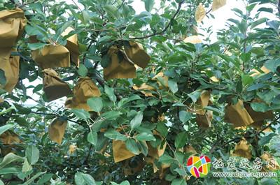 苹果生长过程