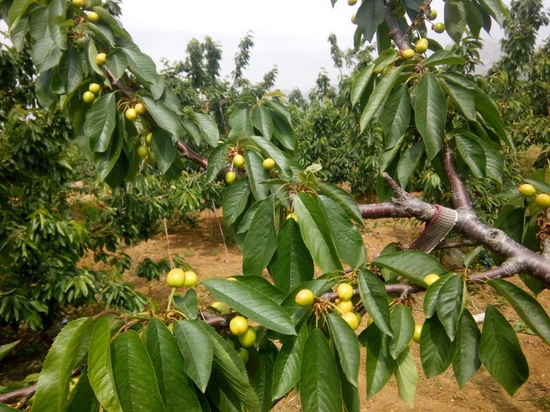 大樱桃树苗的园地选择